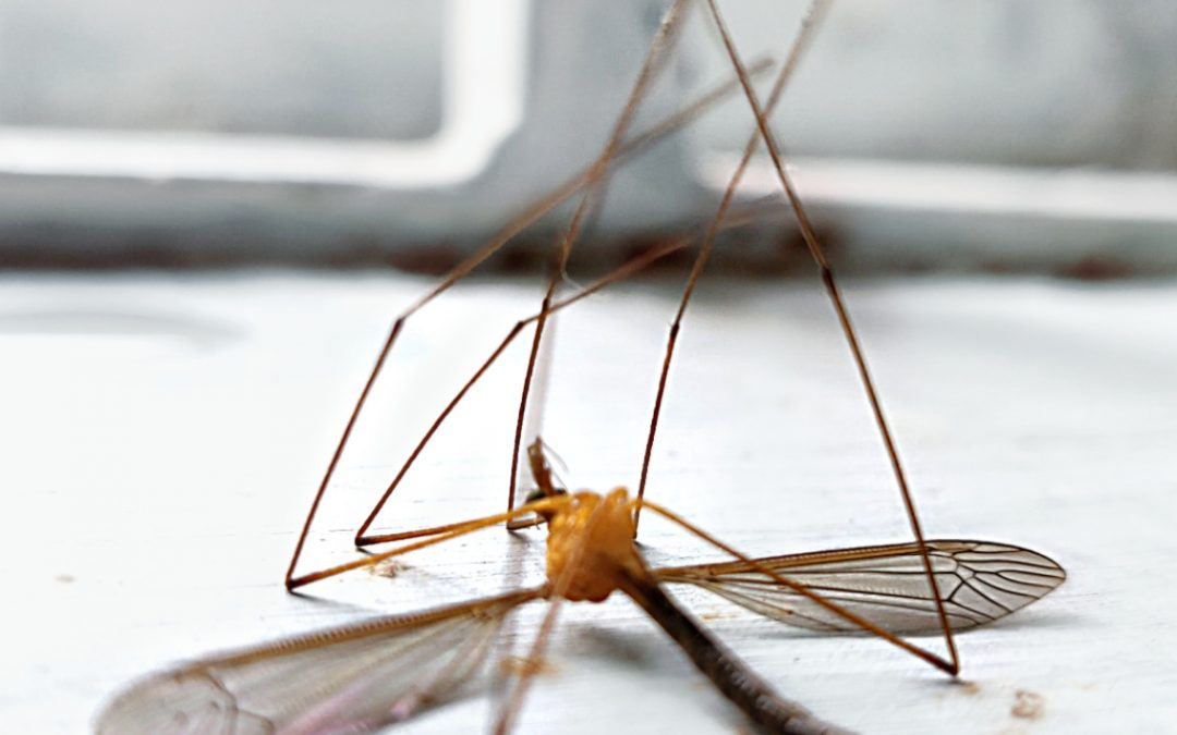 Muggennest